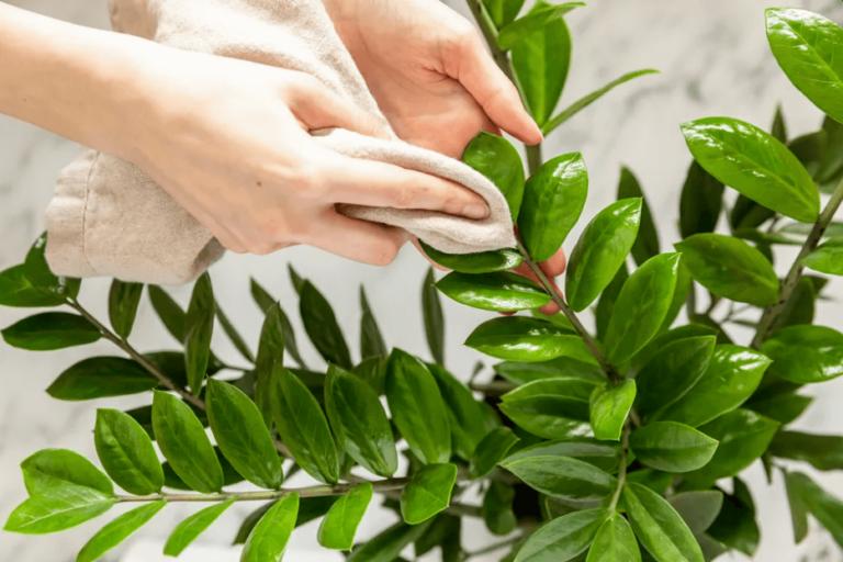 clean houseplant leaves