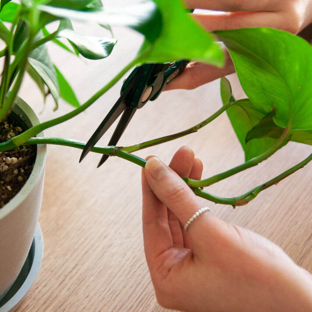 take-cutting-from-a-plant